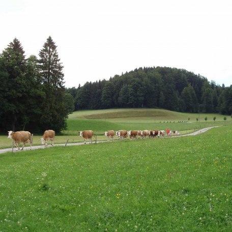 Wo die Milch herkommt !, © im-web.de/ Touristinformation Fischbachau