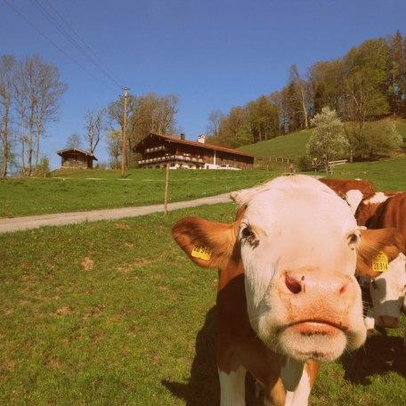 Kühe genießen vor dem Ferienhaus  die Sonne, © im-web.de/ Touristinformation Fischbachau
